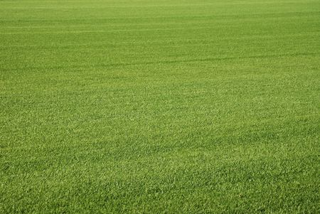 cut grass: Background of perfect short cut green golf grass