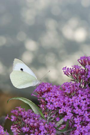 Brimstone Butterfly on a buddleia flower Stock Photo - 5815328