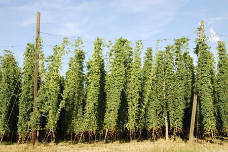 Growing hop in Bavaria (Germany).                            Stock Photo - 5815330