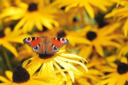 peacock butterfly: Mariposa roja pavo real en un campo de flores amarillas Foto de archivo