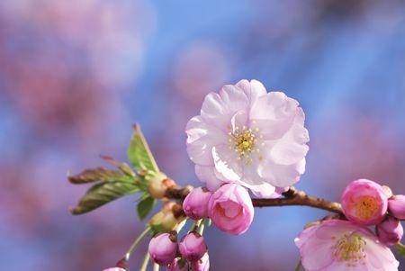 cerezos en flor: Flores de detalle de rosa cereza