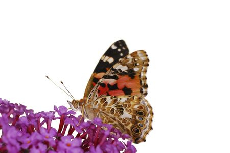 Painted Lady Butterfly on a lilac flower partly isolated. Stock Photo - 6078393