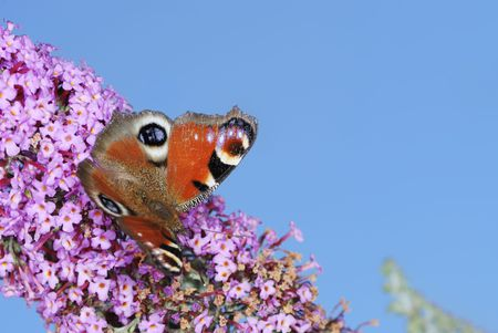 Peacock Butterfly on a buddleia flower Stock Photo - 6078391