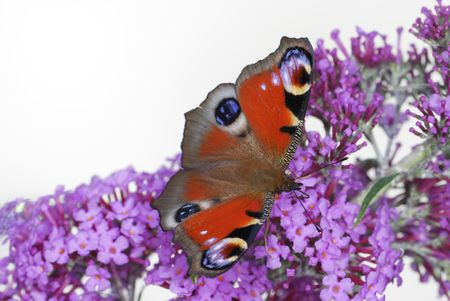 Peacock butterfly on a lilac flower partly isolated. Stock Photo - 6201693