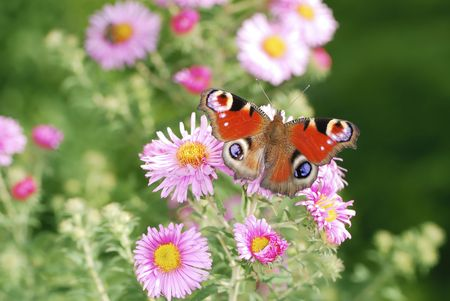 peacock butterfly: Peacock mariposa y Rosa aster flores