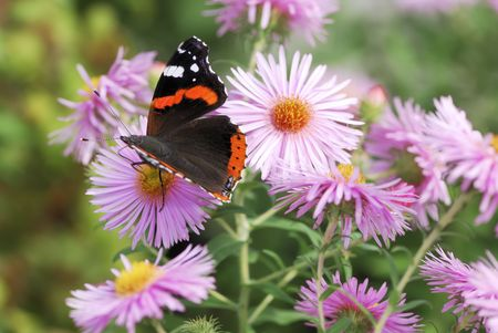 Admiral butterfly on aster flowers. photo