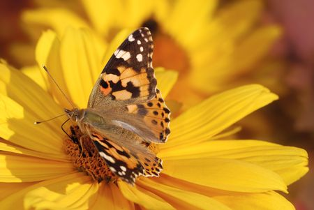 Painted Lady butterfly on a yellow marguerite flower.                                     photo