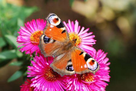 peacock butterfly: Peacock mariposa en aster flores.  Foto de archivo