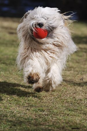 retrieve: Tibetan terrier dog retrieving a red ball. Stock Photo
