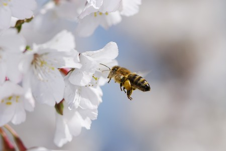 Flying honeybee collecting pollen at cherry blossoms.
