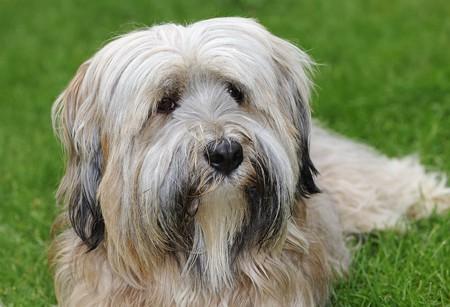 Longhaired purebred Tibetan terrier dog  Stock Photo