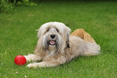 Longhaired purebred Tibetan terrier dog Stock Photo - 7297660