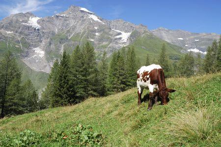 Mountain pasture in Austria at the Grossglockner Hochalpenstrasse (high alpine road). photo
