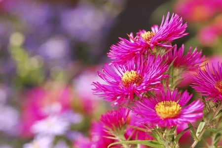 Aster flowers in the garden photo
