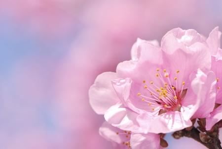 Macro of a pink plub blossom