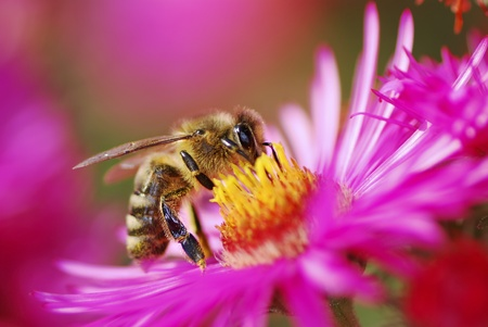 Honeybee collecting pollen on a purple aster flower photo