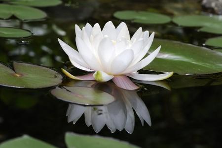 кувшинка: Белый цветок лотоса с отражением в воде Фото со стока