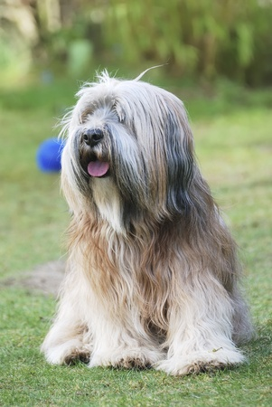 Tibetan terrier sitting in the grass photo