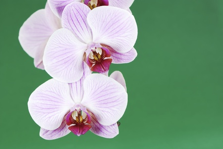 Macro of a beautiful orchid photo