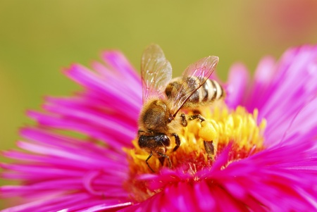 Honeybee collecting pollen on a purple aster flower Stock Photo - 11827801