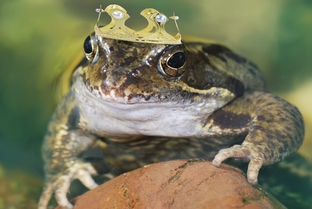 Frog king with a crown in the water.