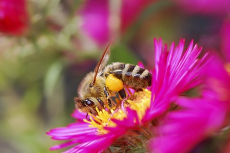 Honeybee collecting pollen on a purple aster flower Stock Photo - 12501713