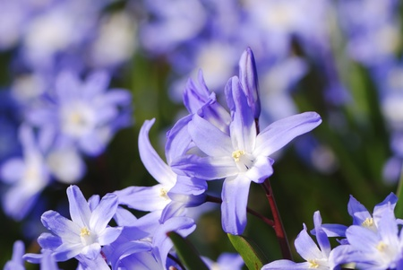 Flowerbed with purple scilla flowers photo