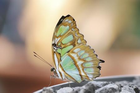 熱帯の蝶のマクロ