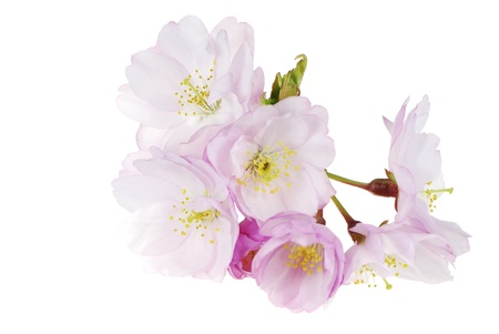 Flowers in spring - pink cherry blossoms photo