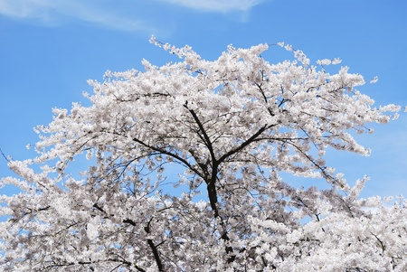 Spring time with a flowering cherry tree and blue sky photo