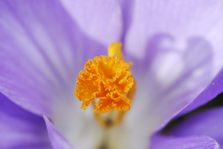 anther: Anther of a purple crocus flowers