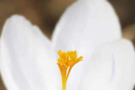 anther: Anther of a white crocus flower Stock Photo