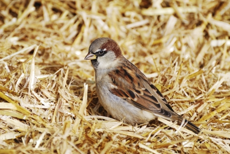 a house with a straw: House sparrow bird sitting in the straw