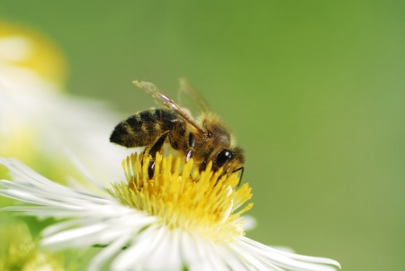 Bee collecting pollen on a aster flower Stock Photo - 16628928