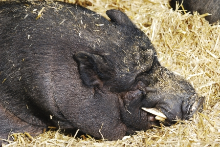 potbellied: Portrait of a sleeping pot-bellied pig.