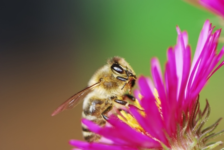 Bee collecting pollen on a aster flower Stock Photo - 17120956