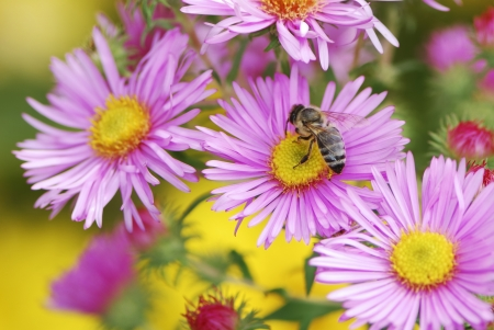 Bee collecting pollen on a aster flower photo