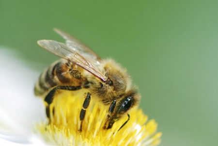 Bee collecting pollen on a aster flower Stock Photo - 17856203