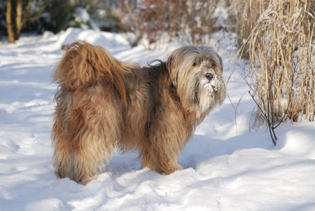 Male tibetan terrier in the snow photo