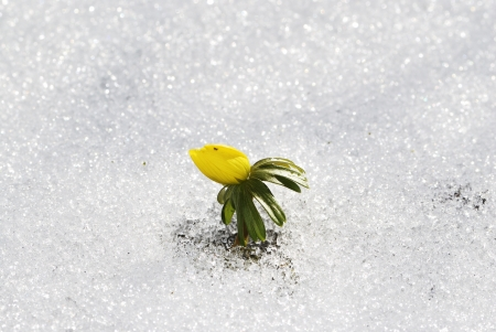 Yellow winter aconite in the snow photo