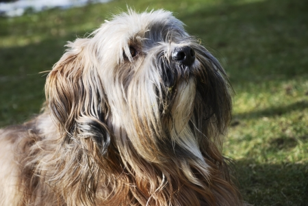 Portrait of a male tibetan terrier dog photo