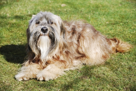 Male tibetan terrier lying in the grass photo