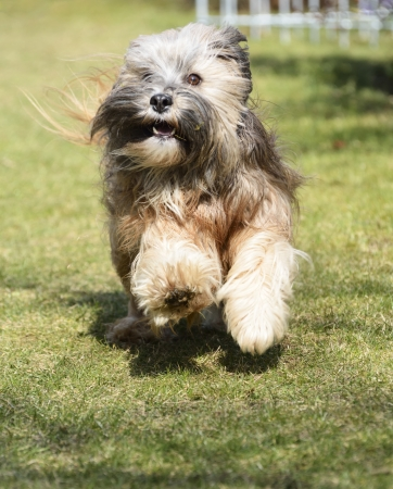 Tibetan terrier dog running in the garden photo