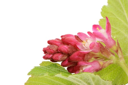 ribes: Isolated ribes sanguineum (flowering currant) Stock Photo