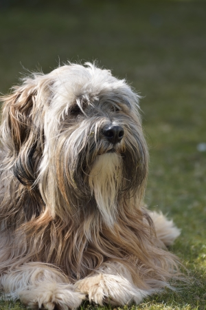 Portrait of a tibetan terrier dog photo