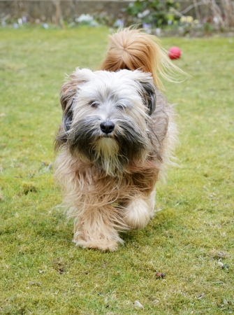 Tibetan terrier dog walking in the grass photo