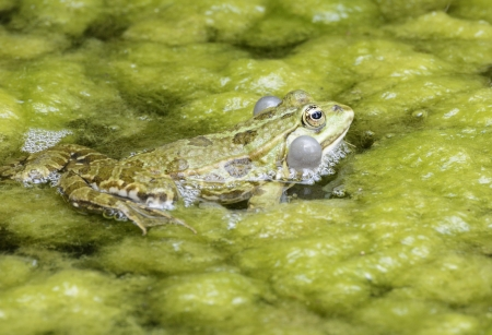 croaking: Croaking frog with swollen vocal sacs Stock Photo