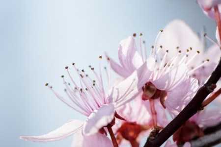 Twig with pink plum blossoms photo