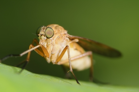 horsefly: Macro of a horse fly insect Stock Photo