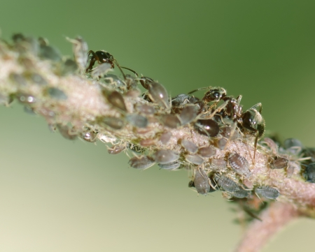 lice: Ants and lice on a plant